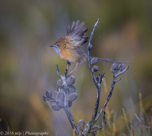 Southern Emu-wren, Shipwreck Creek, Far East Gippsland,