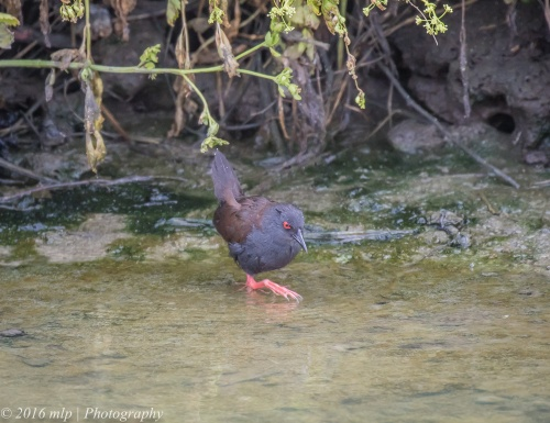Spotless Crake, Werribee Treatment Plant, Victoria