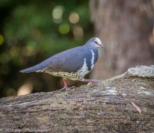 Wonga Pigeon, Shady Gully Reserve, Mallacotta