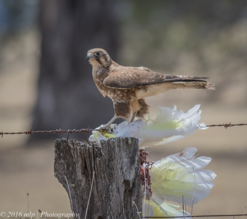 Brown Falcon with cockatoo, Wartook State Forest, Victoria