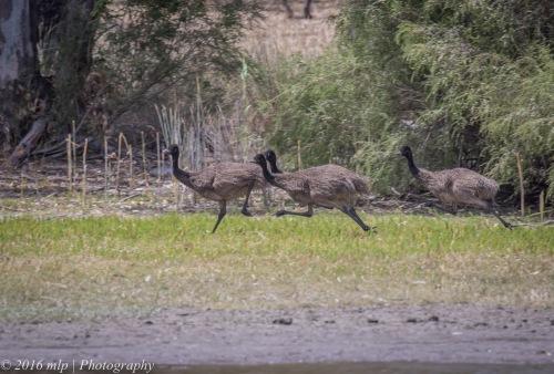 Emu chicks, Cherrypool Highway Park, Wartook, Victoria