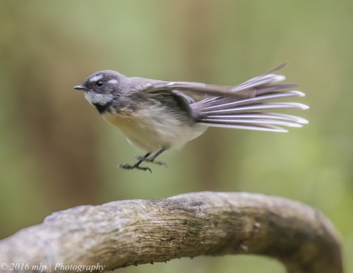 Grey Fantail, Wuchatsch Reserve, Nyora, Victoria