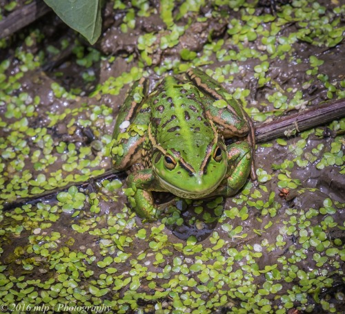 Growling Grass Frog, Western Treatment Plant, Werribee