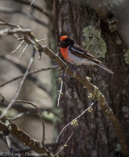 Red-Capped Robin, Little Desert National Park Victoria