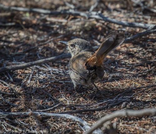 Shy Heathwren, Nurcoung Nature Reserve, Victoria