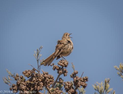 Southern Scrub-robin, Nurcoung Nature Reserve, Victoria