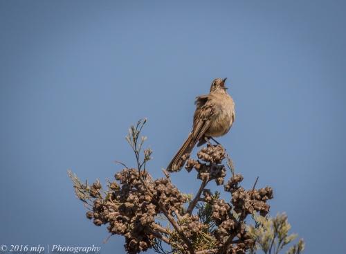 Southern Scrub-robin, Nurcoung Reserve, Victoria