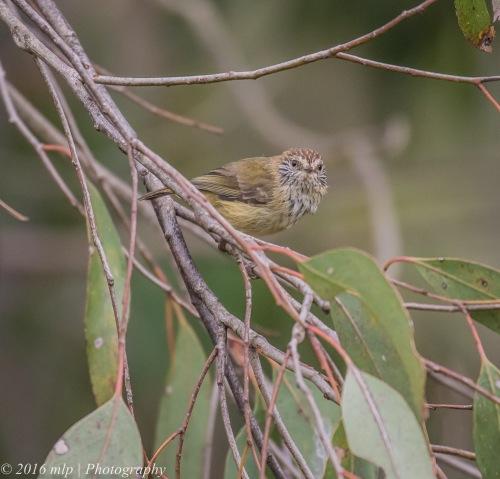 Striated Thornbill, Wuchatsch Reserve, Nyora, Victoria