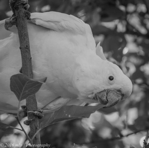 Sulphur Crested Cockatoo, Eynesbury Forest, Victoria