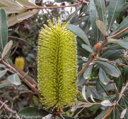 Banksia Flower Spike, Balnarring Beach, Victoria