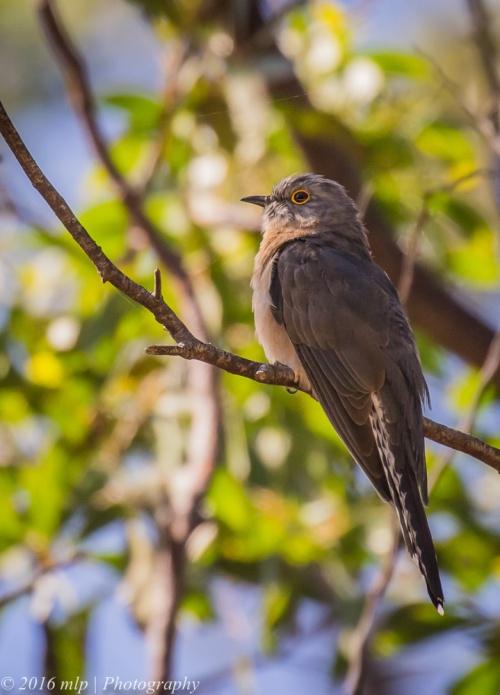 Fan-tailed Cuckoo, Lower Glenelg National Park, Victoria