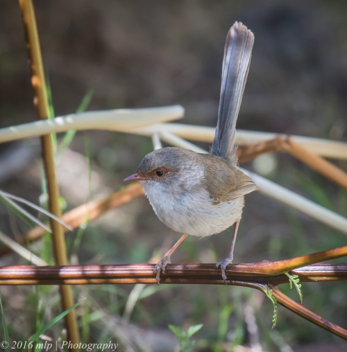 Female Superb Fairy Wren, Great South West Walk, Lower Glenelg National Park, Victoria