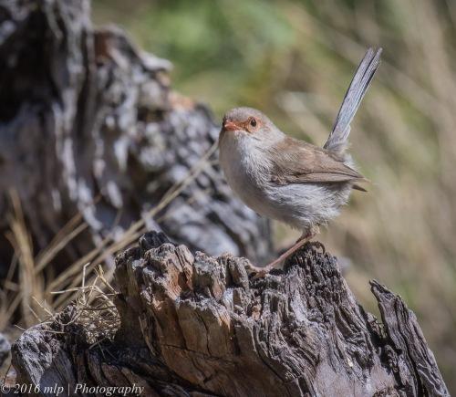 Female Superb Fairy Wren, Great South West Walk, Lower Glenelg National Park, Victoria