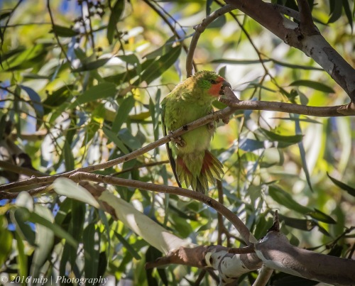 Little Lorikeet, Elster Creek, Elwood, Victoria