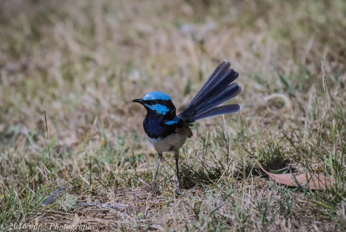 Male Superb Fairy Wren, Great South West Walk, Lower Glenelg National Park, Victoria