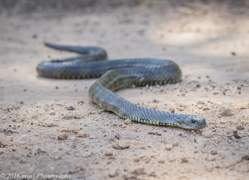 Tiger Snake, Great South West Walk, Lower Glenelg National Park, Victoria