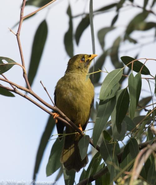 Bell Miner, Melbourne Botanic Gardens