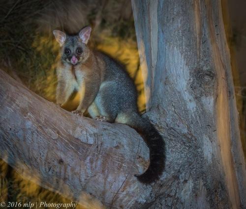 Brush Tailed Possum, Elster Creek, Elwood, Victoria