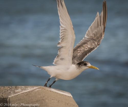 Crested Tern, Elwood Beach, Victoria