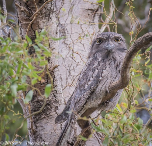 Elster Creek Tawny Frogmouth, Elster Creek, Elwood, Victoria