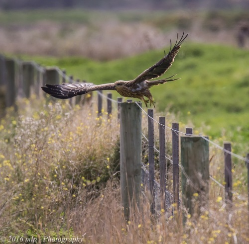 Juvenile Black Kite, WTP, Victoria