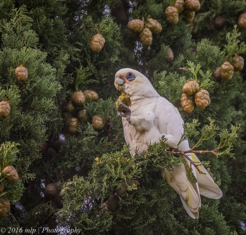 Little Corella, Elster Creek, Victoria