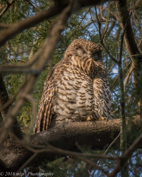 Powerful Owl, Melbourne Botanic Gardens