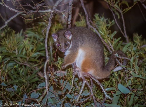 Ring Tailed Possum, Elster Creek, Elwood, Victoria