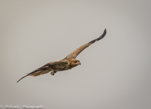Whistling Kite, WTP, Victoria