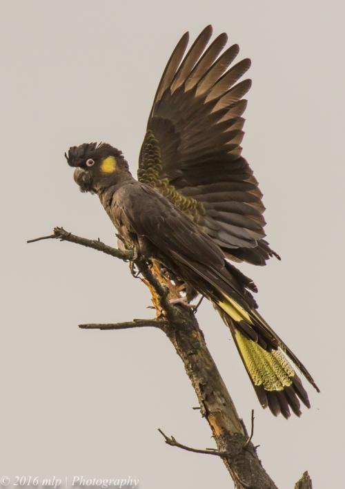 Yellow-tailed Black Cockatoo, Mornington Peninsula, Victoria