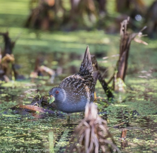 Australian Spotted Crake,  Western Treatment Plant, Victoria