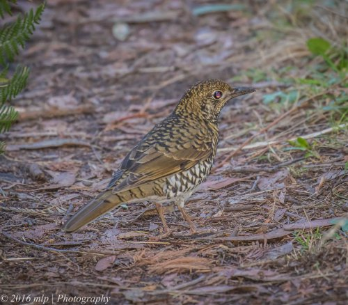 Bassian Thrush, Greens Bush, Mornington Peninsula National Park, Victoria