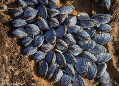 Bivalves, Black Rock beach, Victoria