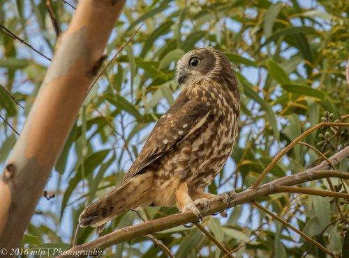 Boobook Owl, You Yangs Regional Park, Victoria