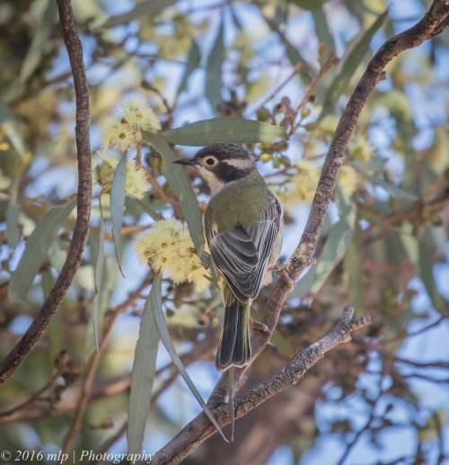 Brown Headed Honeyeater, Karmarooka Forest, Victoria