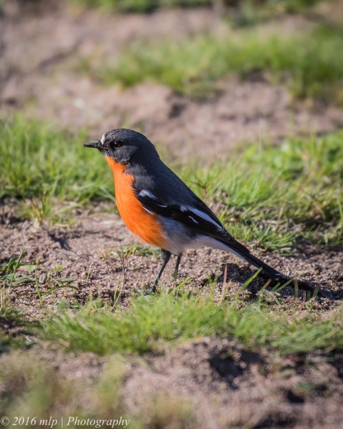 Flame Robin, Point Cook Coastal Park