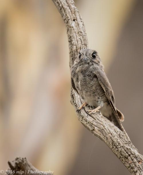 Australian Owlet-nightjar, You Yangs Regional Park, Victoria