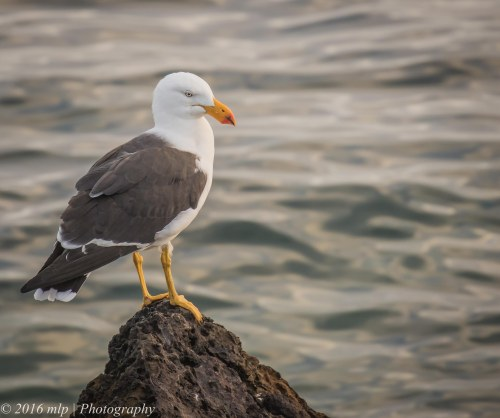 Pacific Gull, Black Rock Beach, Victoria