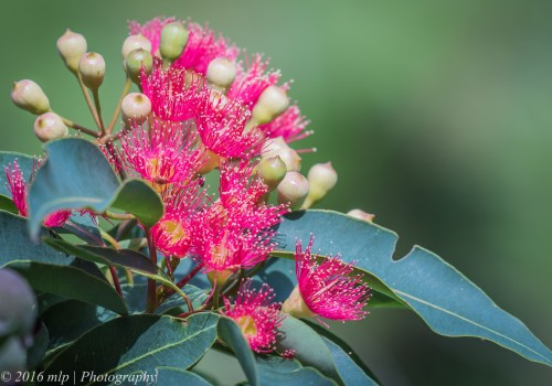 Red Flowering Gum, St Kilda Botanic Gardens