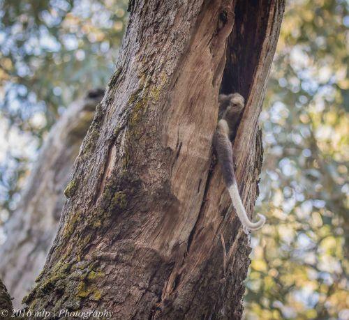 Ring Tailed Possum, Greens Bush, Mornington Peninsula National Park, Victoria