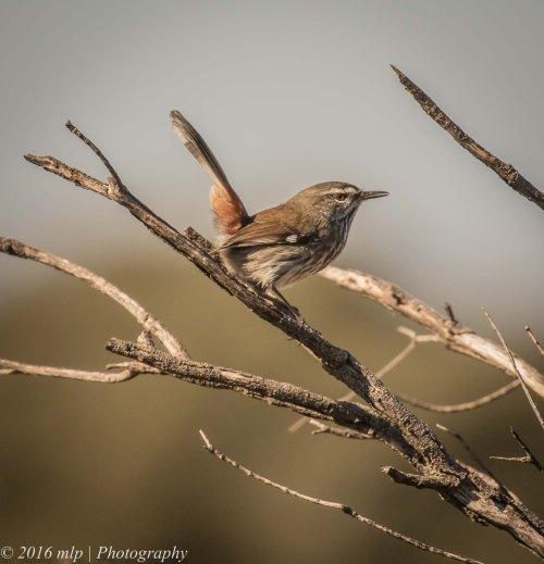 Shy Heathwren, Karmarooka Forest, Victoria,