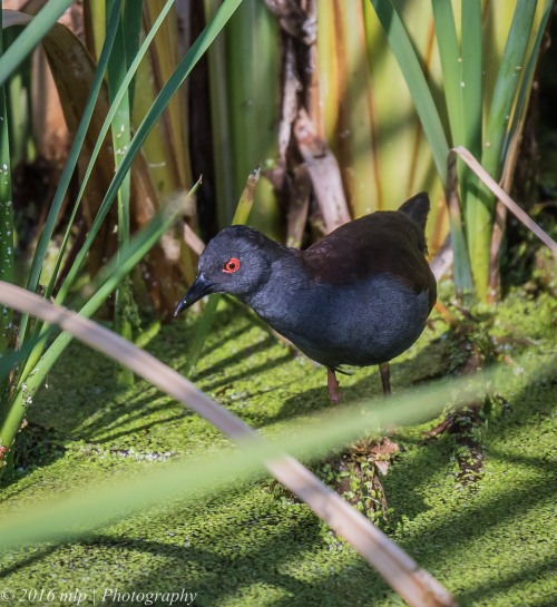 Spotless Crake,  Western Treatment Plant, Victoria