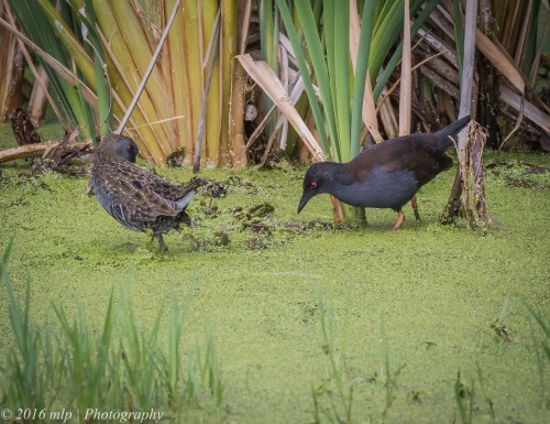 Spotted and Spotless Crakes,  Western Treatment Plant, Victoria