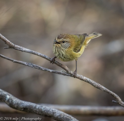 Striated Thornbill, Point Addis Iron Bark Track, Victoria