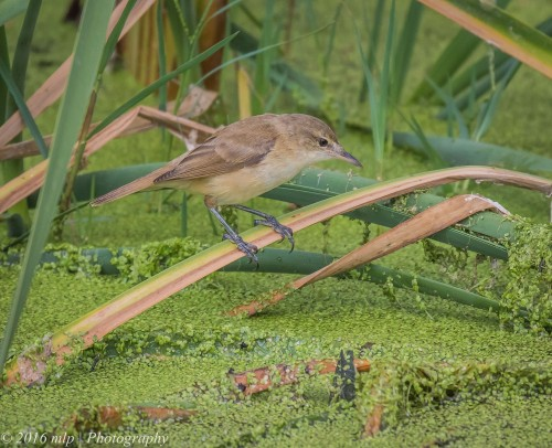 Australian Reed Warbler,  Western Treatment Plant, Victoria