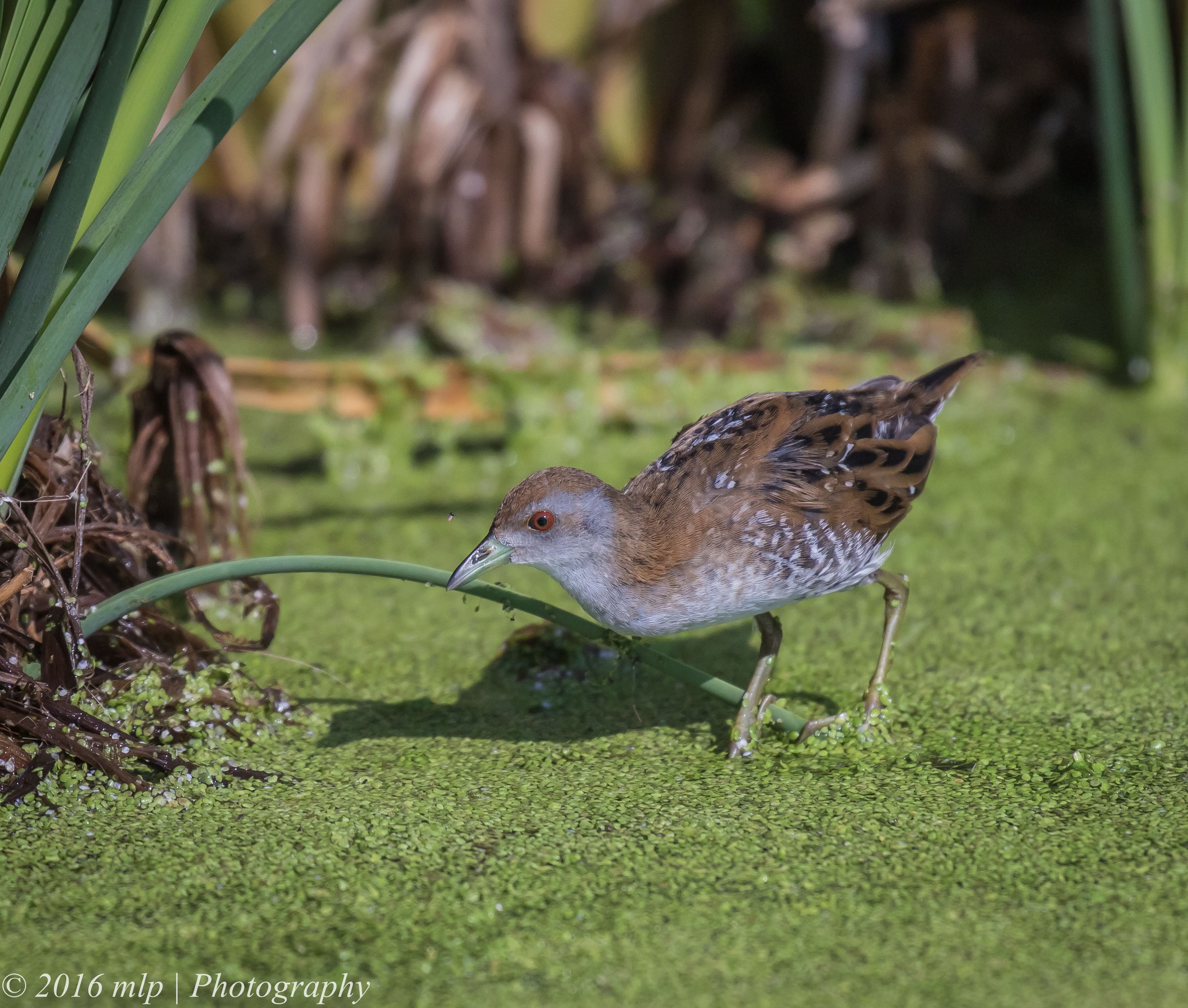 Baillon's Crake's migration mystery | The Gap Year and Beyond