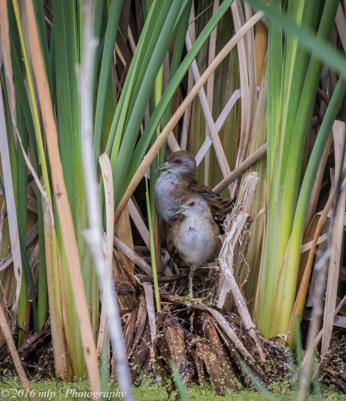 Baillon's Crakes,  Western Treatment Plant, Victoria