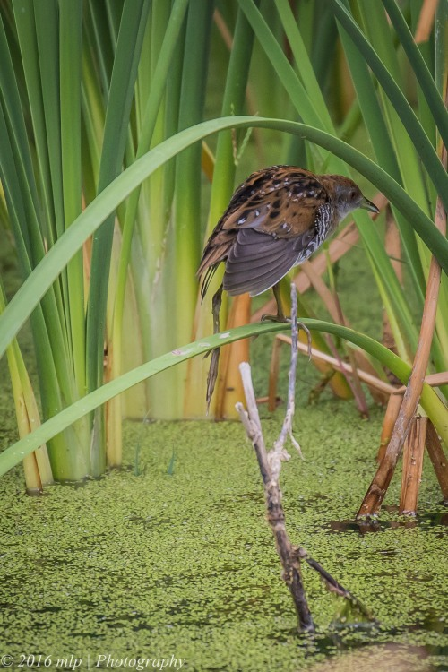 Baillon's Crake,  Western Treatment Plant, Victoria