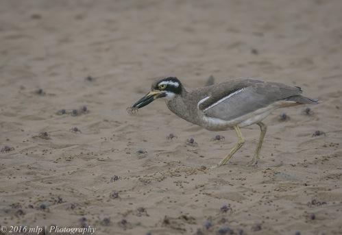 Beach Stone-curlew, Inverloch Beach, Victoria