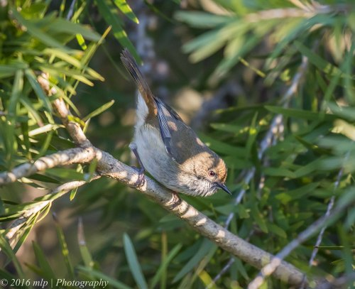 Brown Thornbill, Willowind Farm, Moorooduc, Victoria